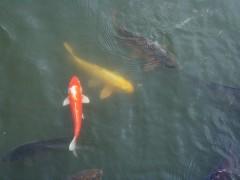 ドデカイ鯉も沢山いました。 落ちたら食べられそう…(汗)