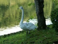 こちらはケガをして飛べなくなった白鳥。棲み着いて保護されているようです。