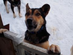 元気に迎えてくれた石狩の犬達